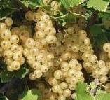 Savanykás ízeket tartógató a gyümölcstermő növények között a ribiszke