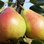A jól választott gyümölcsfa csemete garantálja a jó termést