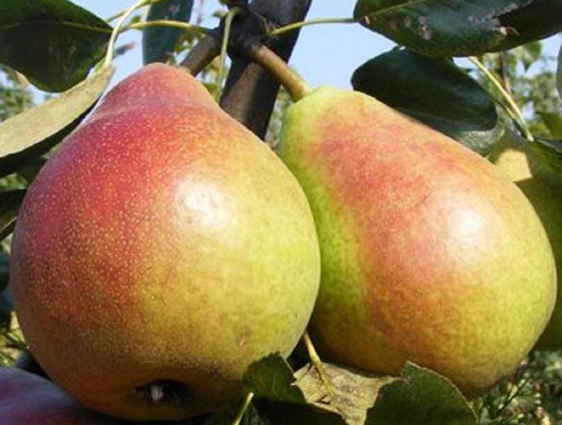 Profi tippek gyümölcsfa csemete vásárláshoz! Miért fontos az érési idő?