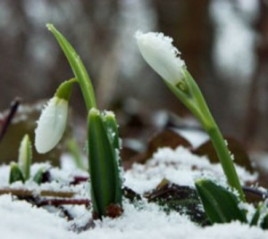 Tavasszal virágzó növények: Hóvirág