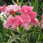 Tarka levelű, telt virágú rózsaszín leánder
