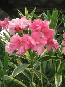 Tarka levelű, telt virágú, rózsaszín leanderek gondozása is egyszerű