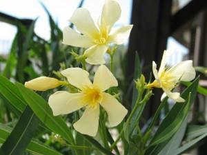 Sárga, szimpla virágú leanderek gondozása is egyszerű