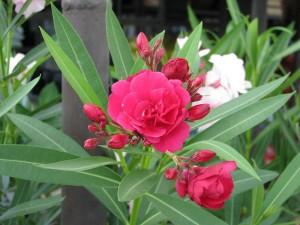 Sötétbordó telt virágú leanderek gondozása is egyszerű