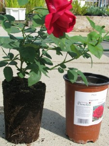 Konténeres rózsatő, a gyökerekkel jól átszőtt földlabda fontos nyári ültetés esetén