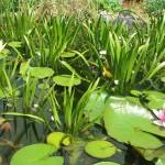 Kolokánokkal sűrűn benőtt kerti tó