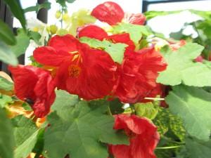 Piros virágú Selyemmályva