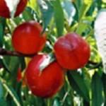 Mária Aurélia nektarin