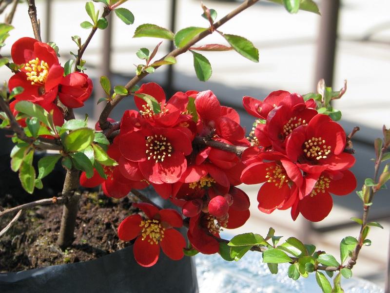Kora tavasszal virágzó növények a kertben