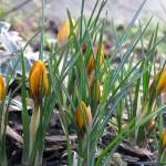 Tavasszal virágzó növények: Krókusz