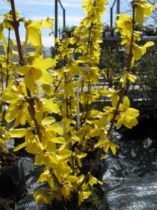 Tavasszal virágzó növények: Aranyvessző