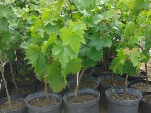 Életerős konténeres szőlőoltványok
