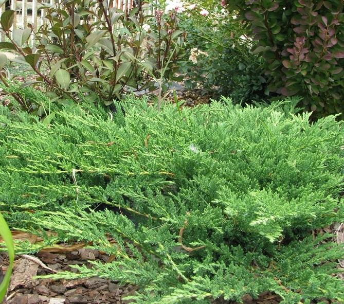 Kúszó boróka hálás talajtakaró növény is