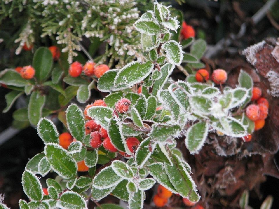Tökéletes téli kerti hangulat:Színes bogyók és zúzmara ruha