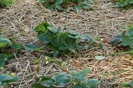 Szalmás talajtakarás a szamócánál