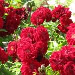rózsa ültetése