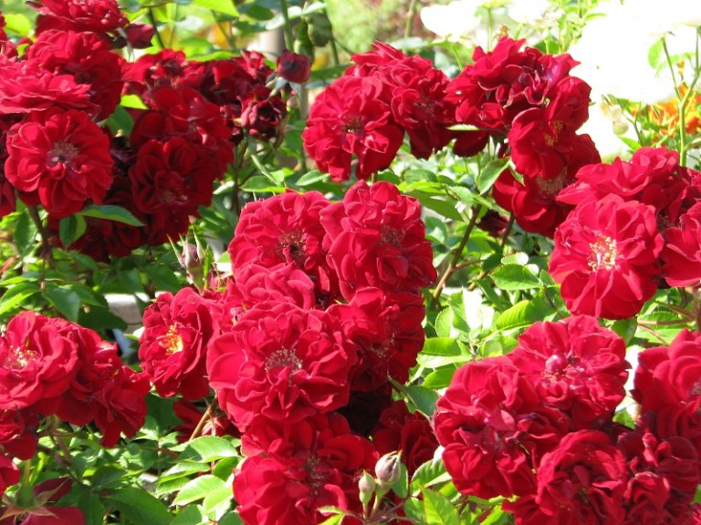 Rózsatövek a legnagyobb rózsanemesítőktől