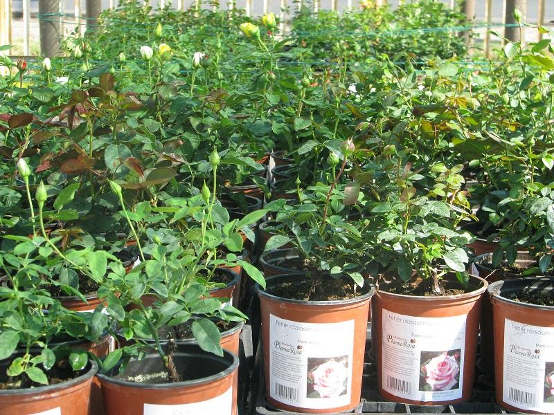 Ültetésre váró rózsatövek tavasszal a kertészetben