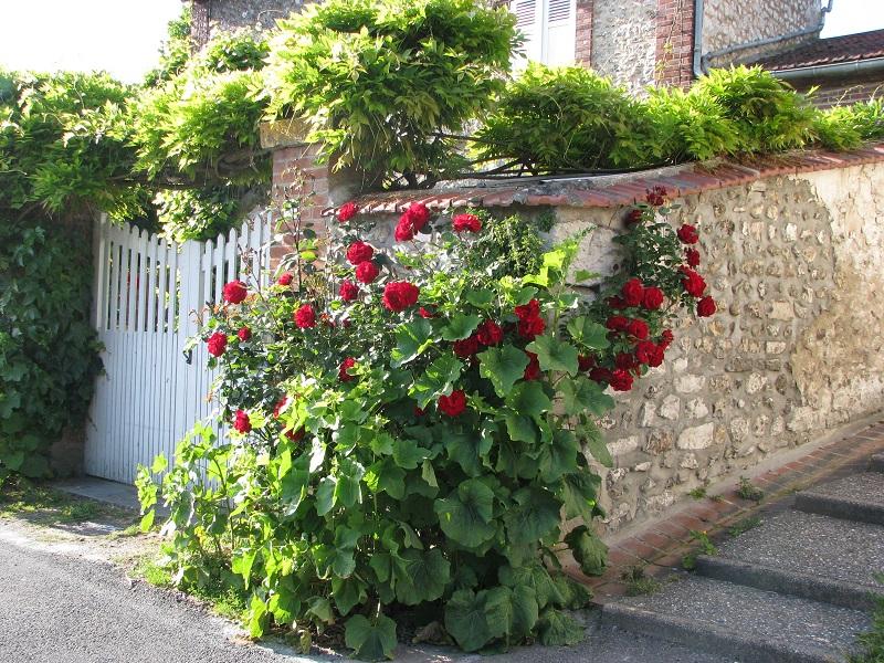 A rusztikus kőfal kiemeli a rózsa szépségét
