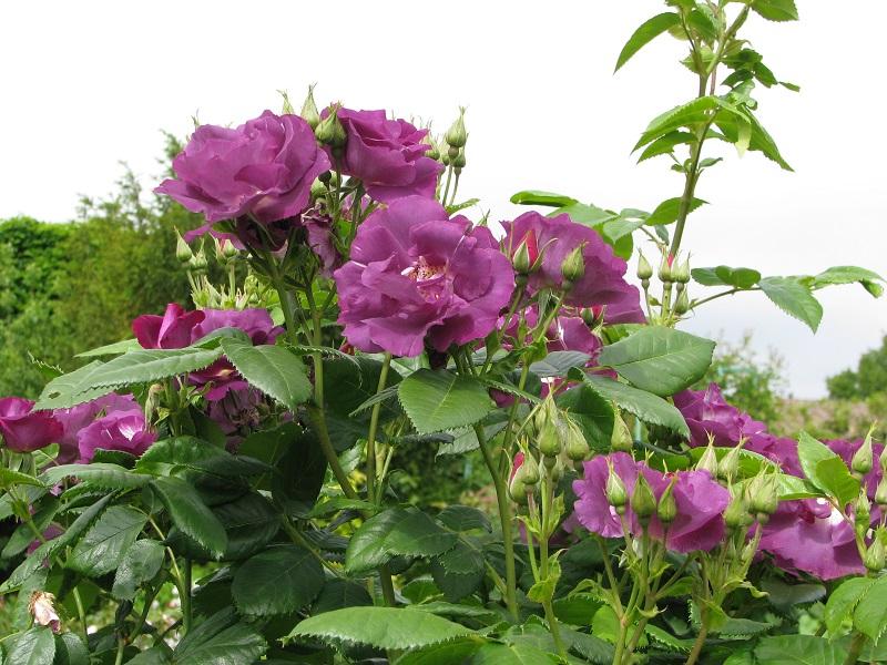 Bár a színe különleges, nem igényel különleges gondozást ez a rózsa fajta