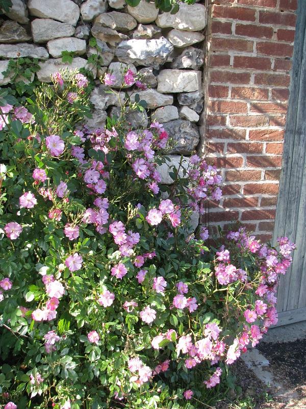 Természetes hatást kelt a vadrózsaszerű egyszerű virág