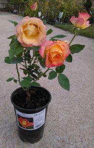 Fejlett, konténeres rózsatő nyáron a kertészetben