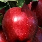 Top red delicious alma
