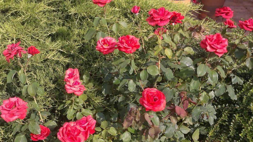 Dúsan virágzó, egészséges rózsa bokor