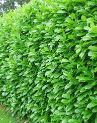 Fontos őszi cikk kertészkedőknek a sövényről