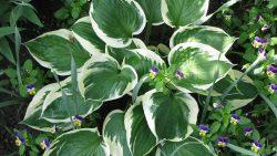 évelő növények félárnyékos helyre