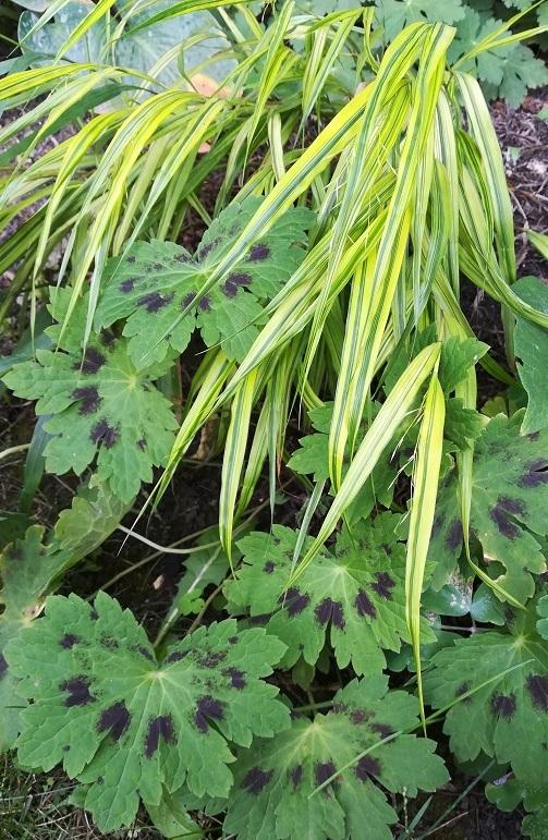 évelő növények árnyékba, félárnyékba