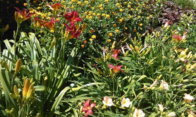 évelő növények