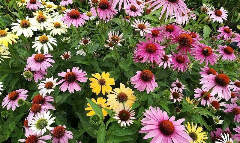 évelő növények napos helyre