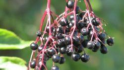 Fekete bodza alap faj