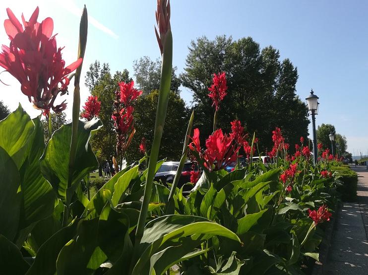 nyári hagymás, gumós növények