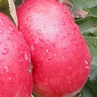 Téli piros pogácsa alma fajta