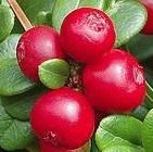 Red Pearl vörös áfonya