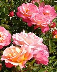 Örök kedvenc a kertekben a rózsa
