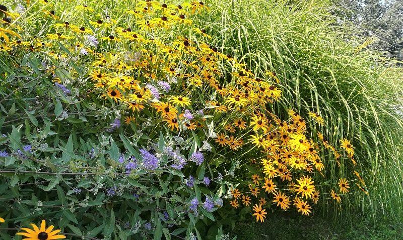 Kékszakáll, kúpvirág, zebrafű, ősszel díszítő növények a kertben